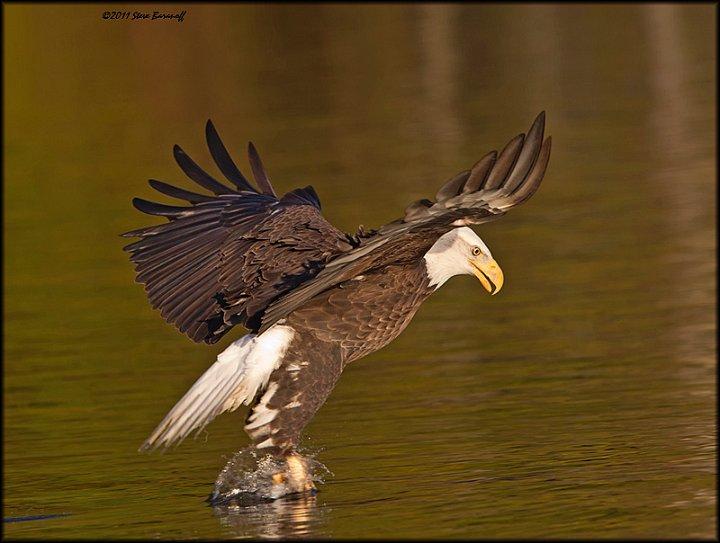 1sb8410 bald eagle catching fish