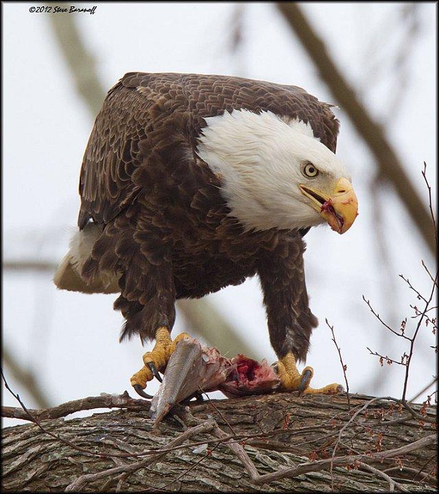 James river eagles 2012 2sb4276 american bald eagle for Fish eating eagle
