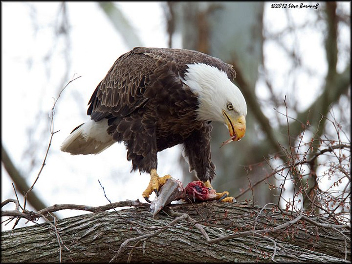 James river eagles 2012 2sb4289 american bald eagle for Fish eating eagle