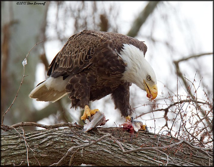 James river eagles 2012 2sb4292 american bald eagle for Fish eating eagle